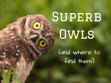 Superb Owls (And Where to Find Them)