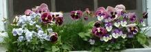 spring pansies