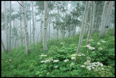 Aspen in Fog - Crested Butte Ron Wybranowski