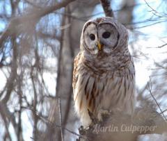 owl martin culpepper