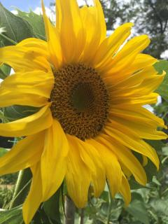 SHED sunflower